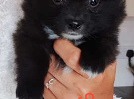 Three Pomchi puppies left