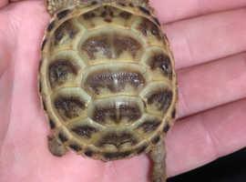 Baby tortoises