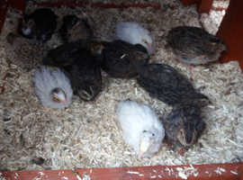 male japanese quail for sale