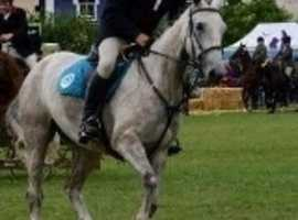 Stunning Irish Sports Horse allround mare
