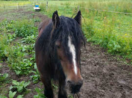 12hh little bay mare for sale to good home only