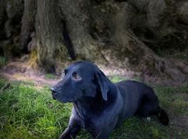 Black proven pedigree Labrador at stud