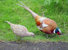 Pheasant bird for sale  also partridges for sale