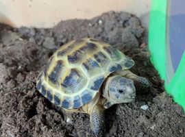 Horsfield tortoise + full set up