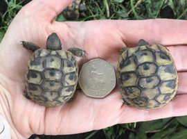 Hermann and Marginated tortoise hatchlings for sale