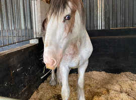 Amazing Clydesdale colt to make 17.2