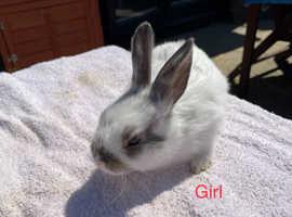 Female Netherland Dwarf rabbits