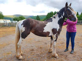 Lottie - genuine heavy weight cob filly.