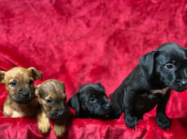 4 beautiful patterdale puppies for sale ready to go