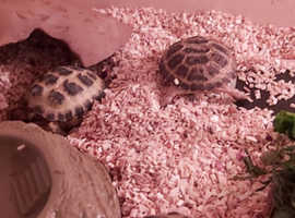 Baby tortoises ready now