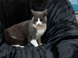 Sweet Angel 18 month old Small British Blue and White Shorthair Tuxedo