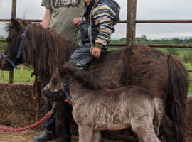 Liver chestnut mare with filly foal at foot