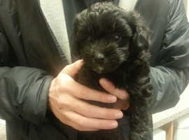 lhasa apso cross toy poodle