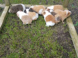 Teddy Guinea pig boar and sow babies