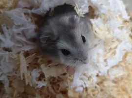 Hamsters in Sittingbourne | Hamsters For Sale & Rehome - Freeads