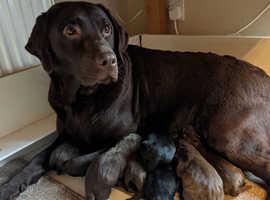 Pedigree Labrador pups for sale KC registered