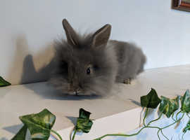 Gorgeous grey fluffy lionhead girl rabbit
