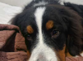 Rehomeing Pure 7 month bernese puppy