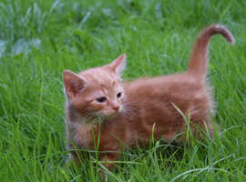 Lovely male ginger kitten