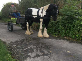 SOLD Traditional coloured cob gelding 15.2hh