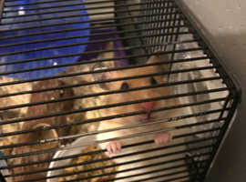 Gorgeous Syrian Hamster for rehoming