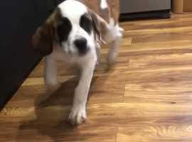 At Bernard girl puppy