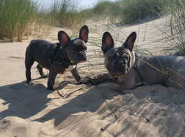 Blue sable French bulldog for stud