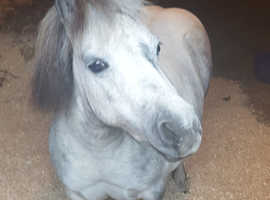 Beautiful mini shetland