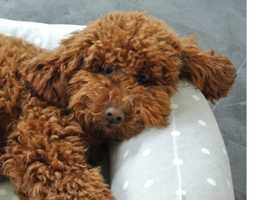 Red Poodle Stud - 10 Clear Dna Health Tests