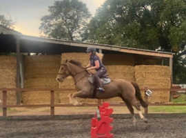 15hh 4 year old Welsh D