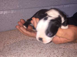KC reg Boston terrier puppies