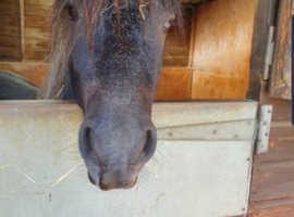 registered fell gelding