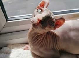 2 elf sphynx kittens available