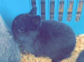 Last Netherland dwarf baby available