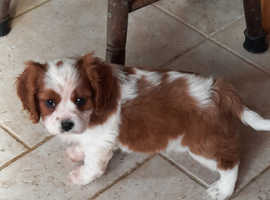 Georgous King Charles pup for sale