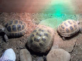3 tortoises and table for sale
