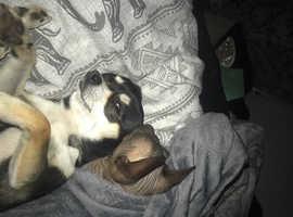 Chihuahua wanted