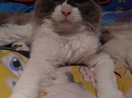 Ragdoll male cat for stud
