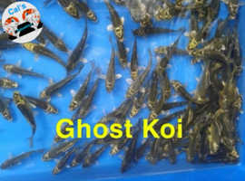 Fish / Pond Fish / Koi