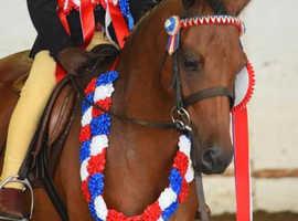 Stunning show pony gelding
