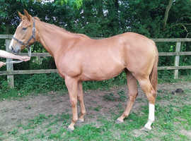 15.2 HH 2yr old Filly
