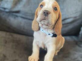 Bagle hound puppies BassetXBeagle