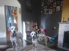 Sad sale of Lovely 1 Year old Dalmatian
