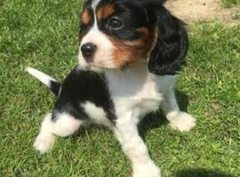 Faro Faro Decaleir Cavalier king charles puppies