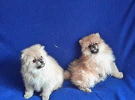 Cream White Boy Pomeranian