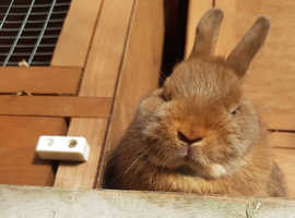 Stunning Cinnamon coloured male Netherland Dwarf from show lines. Pet Only