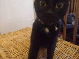 Cross Siamese black cat for sale