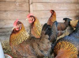 6 Welsummer Hatching eggs