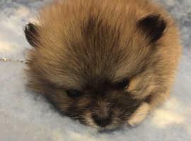 Pure bred teddy Pomeranians