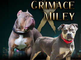 American bully pups available